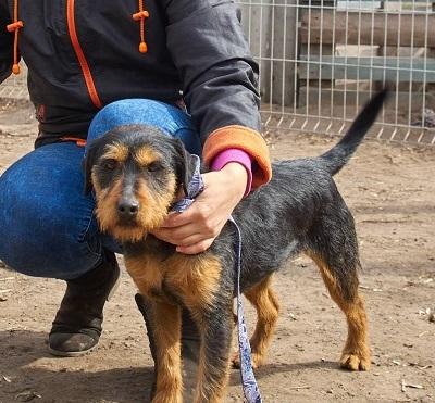 Rocky (Szeged) •vermittelt• an Tierschutzhelfer in Ungarn