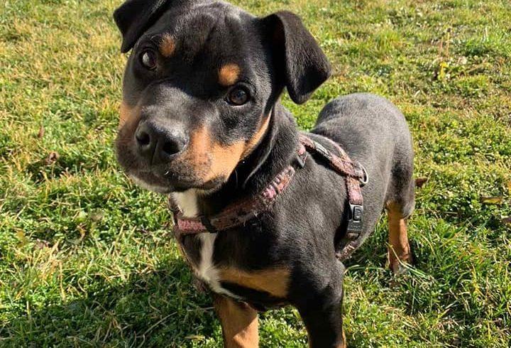 Bendeguz – Staffmix! Wird von Nothilfe für Hunde in A übernommen-Ausreisepaten gefunden! →3/2020 ♥vermittelt♥