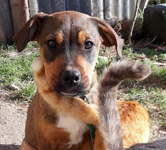 Soma –  Staffmix! Wir von Nothilfe für Hunde in A übernommen – sucht Ausreisepaten! →3/2020 ♥vermittelt♥