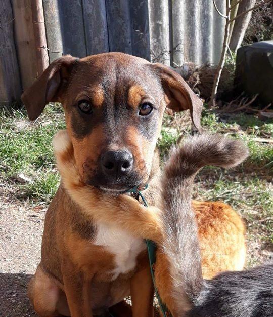 Soma –  Staffmix! Wir von Nothilfe für Hunde in A übernommen – Ausreisepaten gefunden :-* →3/2020 ♥vermittelt♥