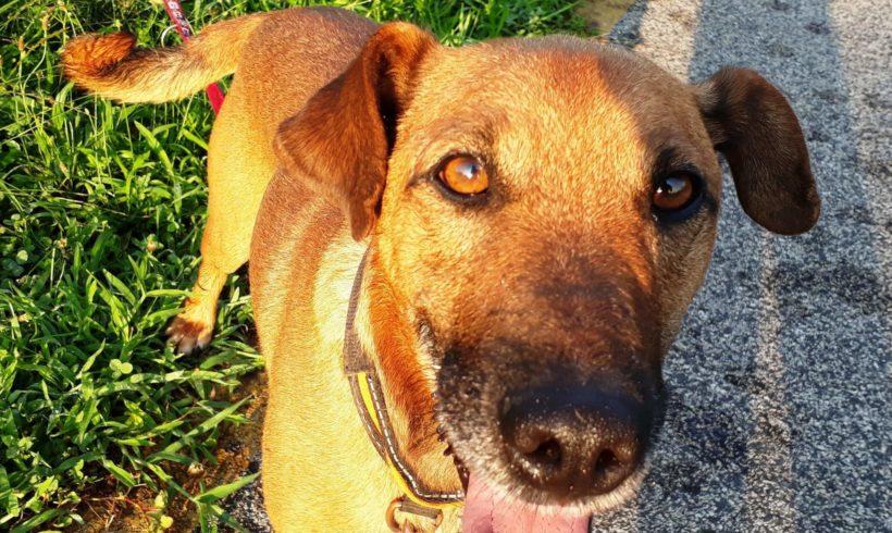 Brownie !Ausreisepaten gefunden! ♥vermittelt an Nothilfe für Hunde♥ !Notfall! →11/2020