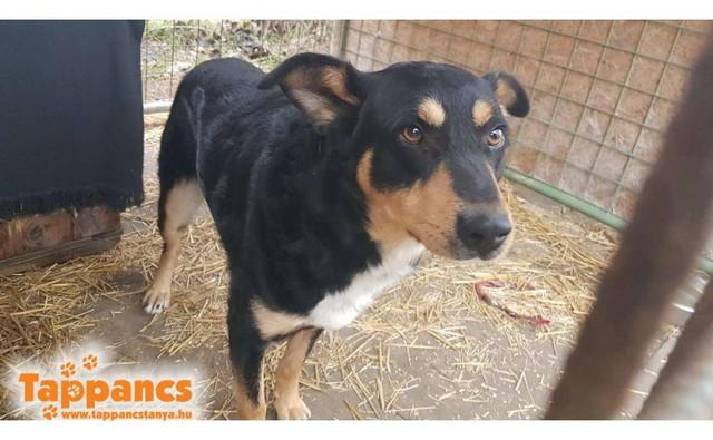 Cezar Szeged ♥vermittelt an Berner Sennenhunde in Not♥ Transportpaten gefunden (Ausreise 20.03.2021)